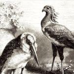 Марабу и птица-секретарь в зоопарке Кёльна