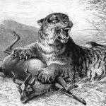 Бенгальский тигр за трапезой